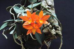 Como cuidar de mini orquídeas. As mini orquídeas sãos plantas delicadas que, como o próprio nome diz, contemplam o estilo minimalista de gosto para decoração. Suas flores pequenas e... Mini Orquideas, Orquideas Cymbidium, Miniature Orchids, Tree Mushrooms, Growing Orchids, Orchid Plants, Geraniums, Garden, Flowers