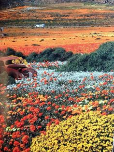 South African wild flowers.