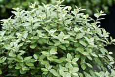 Pittosporum 'Golf Ball' - a good small pale evergreen shrub. Will be a good foil to other plants, ferns and grasses. Hedging Plants, Patio Plants, Garden Plants, Gravel Garden, Grasses, Hedges, Summer Drawings, Evergreen Hedge, Small Shrubs