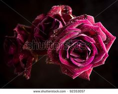 stock-photo-beautiful-pink-roses-isolated-on-black-92353057.jpg (450×358)
