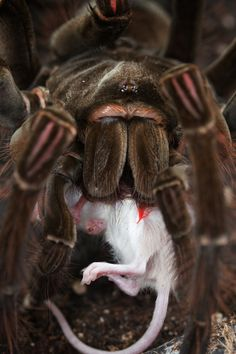 """""""Giant Bird-eating Spider"""" from the Tarantula family. Its leg span is 11-inches and has 1-inch long fangs. While the venom is not deadly to humans, it eats insects, frogs, mice, lizards, small bats and snakes. Since they have no teeth, they inject juices into their prey to break down the tissue so they can ingest their food."""