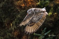 Eagle owl  Animals photo by tenchinage http://rarme.com/?F9gZi
