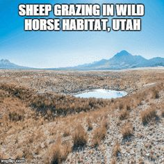 Give away most of the forage to cattle and sheep and scapegoat horses for range damage. | Community Post: Top 5 Ways The BLM Is Destroying America's Wild Horses And Burros
