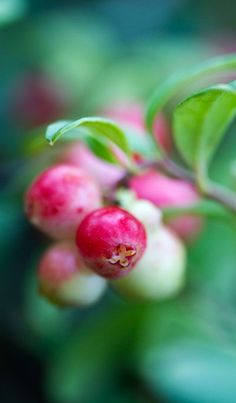 Lingonberry in the forest, Sweden