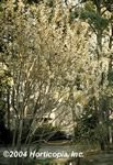 French Pussy Willow - http://ourflowerdelivery.com/gardening/french-pussy-willow.php