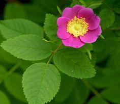 Sun & Pt Sun rain garden plant / Rosa gymnocarpa / Base / Upland / Slope / 2- 3 ft tall / Space 2 ft