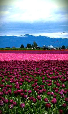 Tulip Town - Mount Vernon, WA  We were able to see the last of the beautiful tulips........love travel with my husband!