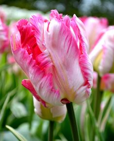 "This Tulip ""Parrot Pink Vision"" has an elegant combination of glowing pink with contrasting, deepest green markings. This fantastic and exclusive tulip has huge blooms. New improved Pink Parrot Tulip now available at wholesale pricing at DutchGrown. Planting Tulips, Tulips Garden, Parrot Tulips, Pink Tulips, Garden Soil, Daffodils, Pansies, Pink Flowers, Best Perennials"
