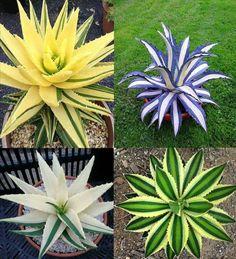 Aloes de colores par