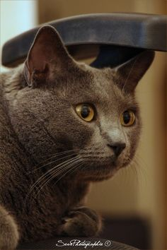 Griffon a cute chartreux on a new social petwork. #cat #chartreux #yummypets #animals #pets #animaux #chat discover other photos on Yummypets.com