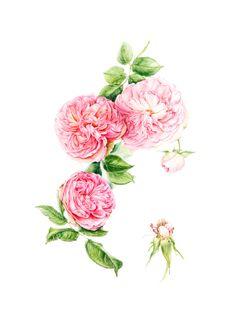 Rosa 'Pierre de Ronsard' rose  by Helen Burrows