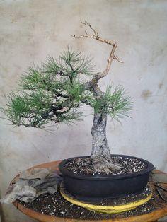 bonsaibp's bonsai blog: Works in progress