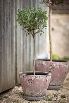 planters with olive trees