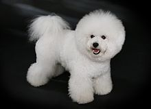 Bichon Frisé. From my dictionary: a small sturdy dog with a curly white coat and a tail that curves over its back.