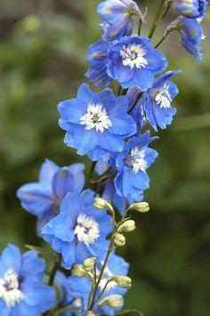 Pale blue delphiniums