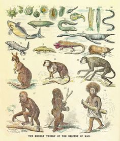 The modern theory of the decent of man, by Ernst Haeckel, published in Anthropogenie oder Entwicklungsgeschichte des Menschen (The Evolution of Man),1874. The figure show the human pedigree as a Great Chain of Being, illustrated by modern and fossil species
