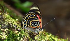 Claudina Agrias Butterfly (S. America) – Photo © 2013  Andrew Neild (unaltered)