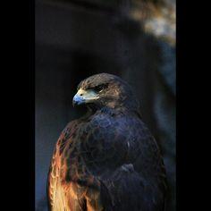 猛禽類は格好良いa hawk #hawk #bird #atthezoo #eos70d #鷲 #猛禽類 #上野動物園