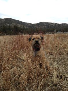 Jack The Border Terrier in the field.