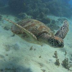 #diving #snorkeling #oceanfreedom #turtle #greatbarrierreef #cairns #underwater #sonyactioncam by nikoboldt http://ift.tt/1UokkV2