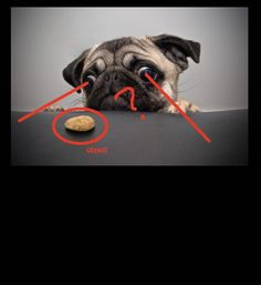funny photos, pug eyes cant see right in front of them