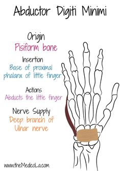 All Upper Limb Muscles Notes & Drawings Muscle Anatomy, Body Anatomy, Hand Anatomy, Medicine Notes, Medicine Student, Hand Therapy, Massage Therapy, Muscles Of Upper Limb, Upper Limb Anatomy