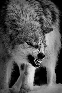 Wild Animal Wallpaper, Wolf Wallpaper, Wolf Photos, Wolf Pictures, Scary Wolf, Animals Beautiful, Cute Animals, Snarling Wolf, Wolf Face