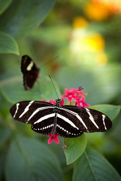 Zebra Longwing. I got to see my first one of these Friday! They're gorgeous!!!