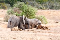 Come Play With Me - African Bush Elephant Come Play With Me - The African bush…