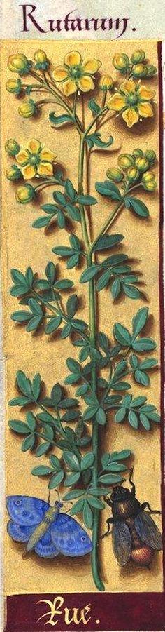 Rue - Rutarum (Ruta graveolens L. Medieval Tapestry, Medieval Books, Medieval Manuscript, Illuminated Manuscript, Plant Illustration, Botanical Illustration, Botanical Flowers, Botanical Prints, Historia Natural