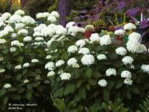 In order to support the large blooms of an Annabelle hydrangea, make a small cage out of green fencing wire and place it around the plant in early spring.  When the hydrangea leafs out, the wire is hidden in the leaves.