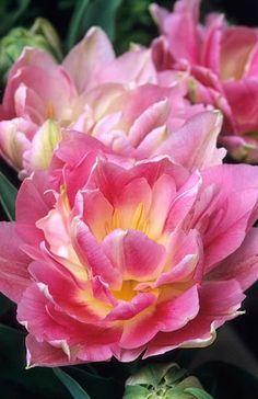 Tulipan Tulipa 'Peach Blossom' Fotografia de John Glover, uno de los primeros y de los mas importantes fotografos de jardin del Reino Unido