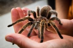 Tarantulas comprise a group of large and often hairy arachnids belonging to the Theraphosidae family of spiders, of which approximately 900 species have been id. Rose Hair Tarantula, Pet Tarantula, Tarantula Enclosure, Dubia Roaches, Pet Spider, Itsy Bitsy Spider, Little Critter, Exotic Pets, Exotic Animals