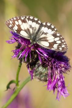 Marbled White Butterfly By Mark Monckton