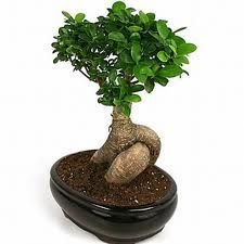 Ginseng Ficus– the Perfect Bonsai Tree. I have this bonsai. Fun to care for.