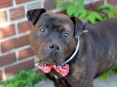 SAFE 6-19-2015 --- Brooklyn Center CHIMNEY – A1038345 MALE, BLACK, AMERICAN STAFF MIX, 2 yrs STRAY – STRAY WAIT, NO HOLD Reason STRAY Intake condition UNSPECIFIE Intake Date 06/01/2015