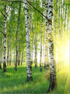 birch forest - photo/picture definition at Photo Dictionary - birch forest word and phrase defined by its image in jpg/jpeg in English Aspen, Birch Forest, Tree Forest, Birch Trees, Forest Light, Birch Bark, Beautiful World, Beautiful Places, Beautiful Pictures