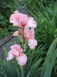 Irises: Beverly Sills - Google Search