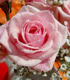 JP: Pink Delight - Soft Pink Hybrid Tea Roses