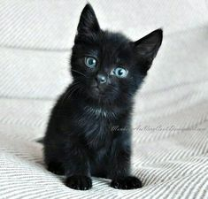 is the Average Maine Coon Lifespan meow! so adorable :) i want a black cat soo bad especially with baby blues. so adorable :) i want a black cat soo bad especially with baby blues. Kittens And Puppies, Cute Cats And Kittens, Baby Cats, Cool Cats, Kittens Cutest, Black Kittens, Lps Cats, Pretty Cats, Beautiful Cats