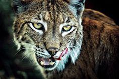 Adventurous Examples of Wildlife Photography (12 Big Cats Pics)