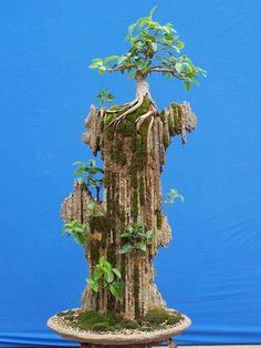 RP: Tiger Bark Ficus - Roots on Rocks