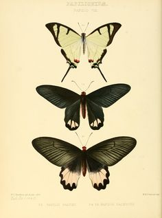 Illustrations of new species of exotic butterfl...