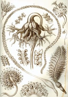 link to the 300 dpi images Ernst Haeckel ~ Art Forms in Nature Illustration Photo, Nature Illustration, Sea Life Art, Sea Art, Botanical Drawings, Botanical Art, Illustrations Harry Potter, Ernst Haeckel Art, Art Et Nature