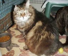 SAVANNAH is an adoptable Maine Coon Cat in Raleigh, NC. Talk about luck. You and I have both arrived at the same place in search of some love. My name's Savannah and I wandered up to the doors of the ...