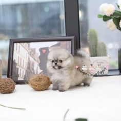 Mini Puppies, Teacup Puppies For Sale, Cute Dogs And Puppies, Micro Teacup Pomeranian, Sable Coat, Bear Face, Pomeranians, Yorkie, Poodle