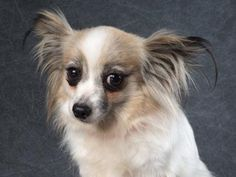 Adopt Faye, a lovely 5 years  8 months Dog available for adoption at Petango.com.  Faye is a Papillon and is available at the National Mill Dog Rescue in Colorado Springs, Co.  www.milldogrescue.org