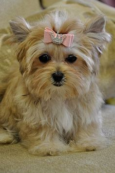 A morkie... what my dog looks like, except mine doesn't appreciate bows :(