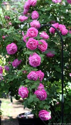 """ Baronne Prévost "" - Hybrid Perpetual rose - Pink, lilac shading - Strong, damask fragrance - Jean Desprez (France), 1841"