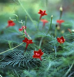 Cardinal Vine  (Ipomoea quamoclit)    This hummingbird magnet works well on trellises, fences, and in hanging baskets. Delicate red trumpet-shaped flowers peek out of tropical-looking feathery foliage that grows up to 15 feet. Plant it in full to partial sun with light to medium support.